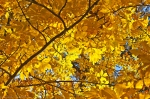 HSNP North Mountain Autumn Leaves Gold