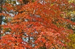 HSNP North Mountain Autumn Leaves Orange