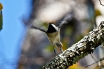HSNP West Mt Trail Carolina Chickadee