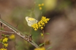 HSNP West Mt Trail Dainty Sulphur