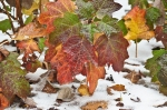 HSNP Ice Storm Autumn Leaves