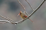 HSNP Ice Storm Female Cardinal
