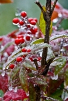 HSNP Ice Storm Ornamental Bamboo Berries