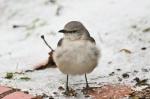 HSNP Ice Storm Promenade Mockingbird
