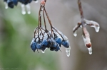HSNP Peak Trail Iced Blue Berries