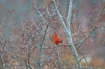 HSNP Promenade Male Cardinal in Berry Tree