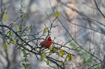HSNP Promenade Male Cardinal in Tree