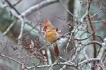HSNP Tufa Terrace Trail Female Cardinal in Tree
