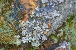HSNP Hot Springs Mt Trail Lichen