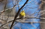 HSNP Hot Springs Mt Trail Pine Warbler