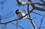 HSNP Goat Rock Trail Carolina Chickadee