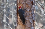HSNP Hot Springs Mt Trail Male Pileated Woodpecker