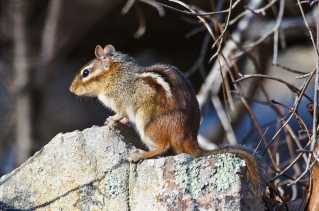 HSNP Lower Dogwood trail Chipmunk The Stud Muffin