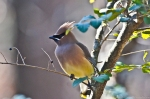 HSNP Hot Springs Mt Trail Cedar Waxwing