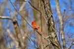 HSNP Dead Chief Trail Male Cardinal