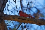 HSNP Dead Chief Trail Male Cardinal Photo Bomb by a White Throated Cardinal