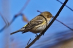 HSNP Dead Chief Trail Yellow-Rumped Warbler