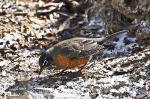 HSNP Hot Water Cascade Robin