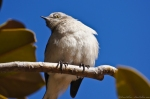 HSNP Mockingbird in a Magnolia tree