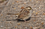 HSNP Tufa Terrace White-Throated Sparrow