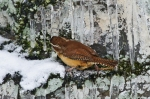 HSNP Carolina Wren Icicles and Snow