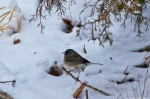 HSNP Floral Trail Snow Ice Junco