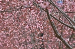 Hot Springs, Arkansas Cherry Blossoms 2014