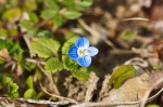 HSNP Carriage Road Birds-Eye Speedwell