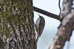 HSNP Hot Springs Mt Trail Brown Creeper
