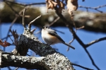 HSNP Hot Springs Mt Trail Tufted Titmouse