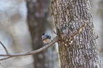HSNP Short Cut Trail Carolina Chickadee