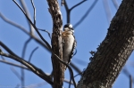 HSNP Short Cut Trail Downy Woodpecker