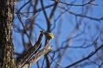 HSNP Short Cut Trail Pine Warbler