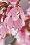 HSNP Cherry Blossoms in Ice