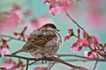 HSNP Cherry Blossoms in Ice House Sparrow