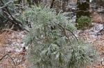 HSNP Peak Trail Iced Evergreen