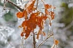 HSNP Peak Trail Iced Leaves