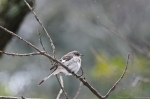 HSNP Peak Trail Mockingbird