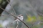 HSNP Peak Trail Mockingbird