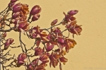 HSNP National Park Headquarters Frozen Saucer Magnolias