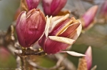 HSNP National Park Headquarters Frozen Saucer Magnolias