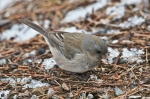 HSNP North Mt Loop Junco