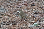 HSNP Upper Dogwood Trail Hermit Thrush