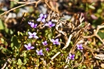 HSNP North Mt Loop Bluets Wildflowers