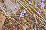 HSNP Goat Rock Trail Bluets