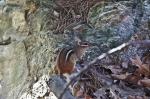 HSNP Gulpha Gorge Trail Chipmunk