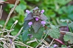 HSNP Hot Springs Mt Rd Deadnettle
