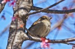 Hot Springs, Arkansas Female House Sparrow