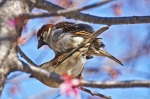 Hot Springs, Arkansas Mating House Sparrows