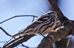 HSNP Upper Dogwood Trail Black and White Warbler